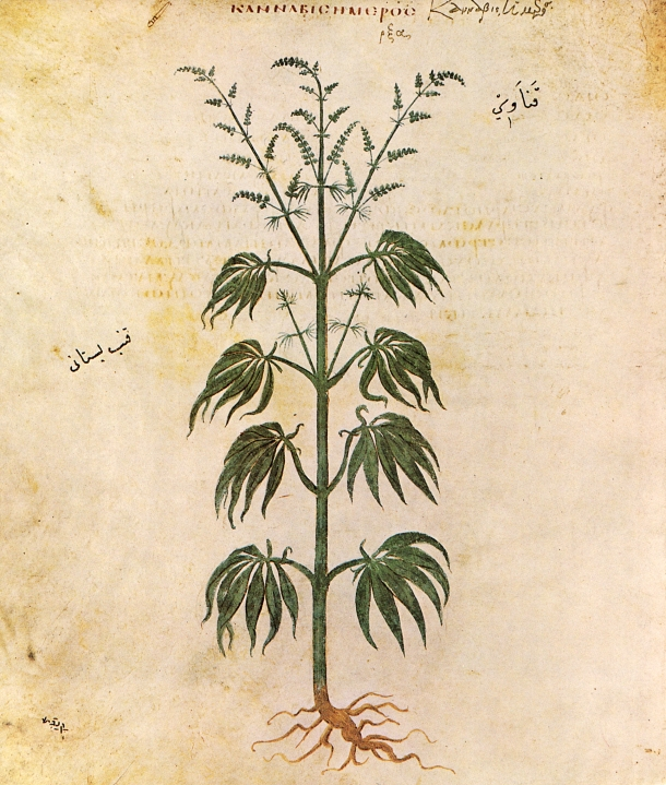 A very early picture of cannabis. A 13th century Arabic copy of the Dioscorodes herbal. This, and the other images were probably copied from earlier editions of the herbal, rather than from the plant itself.