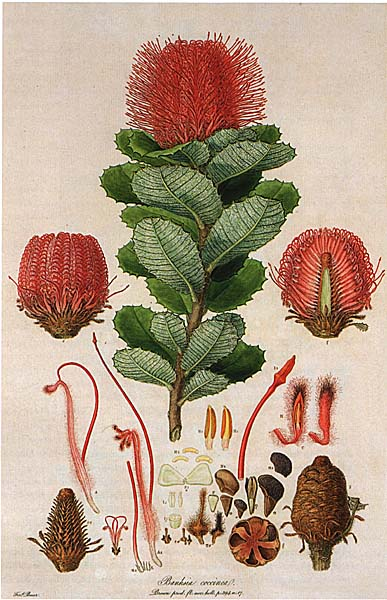 Banksia cocchinea, one of Bauer's Australian illustrations.