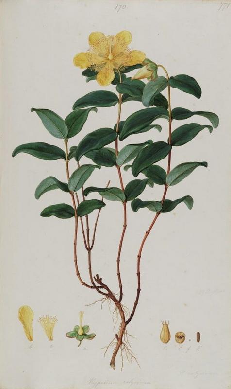 Hypericum calycinum, from Flora Graeca
