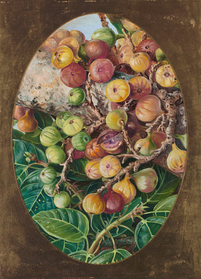 Victorian Flower Painting. Marianne North, Foliage and Fruit of Fig Tree held Sacred by the Hindoos.