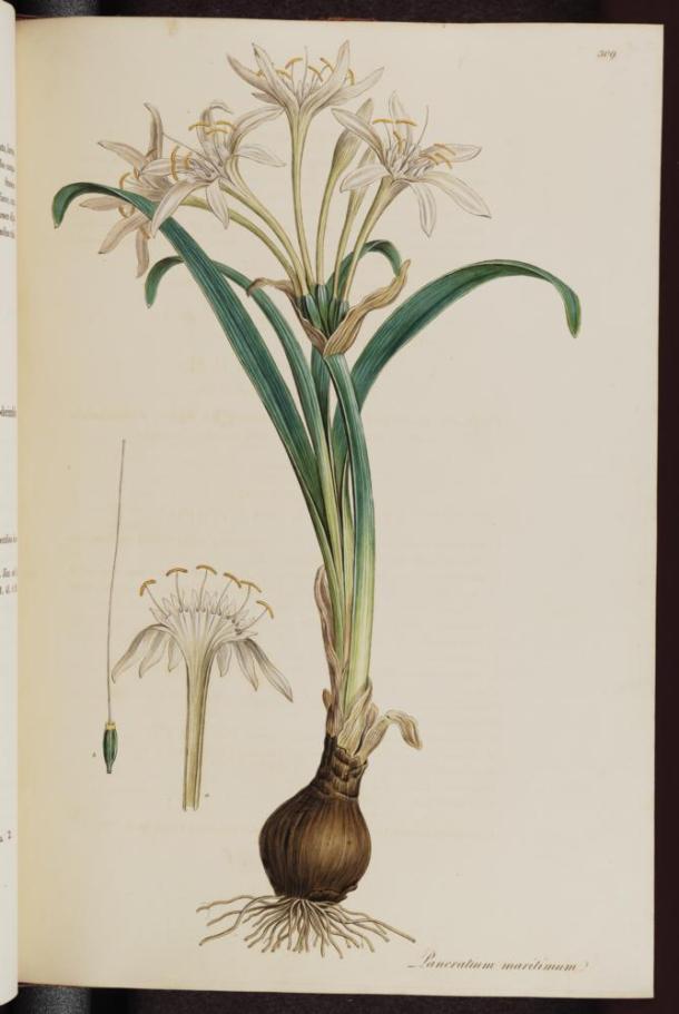 Vol. 04[1], t.309: Pancratium maritimum