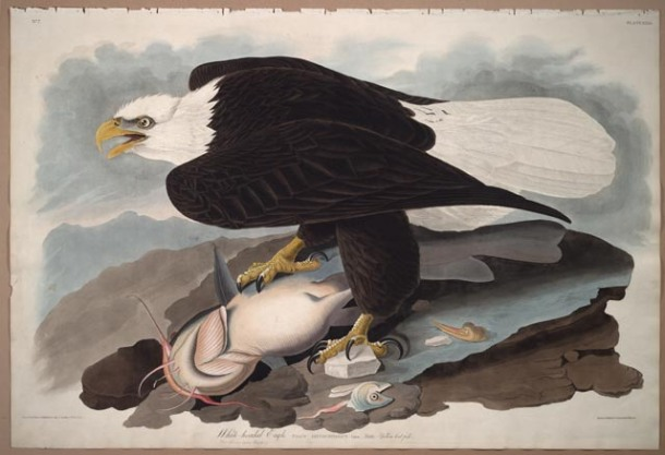 Audubon, Bald Eagle from Birds of America, London: 1827-1838 Color plate 359.