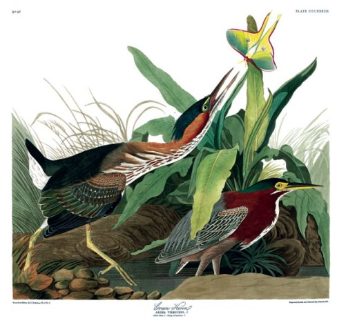 Hand-coloured engraving, 1835 - 1838, © Natural History Museum