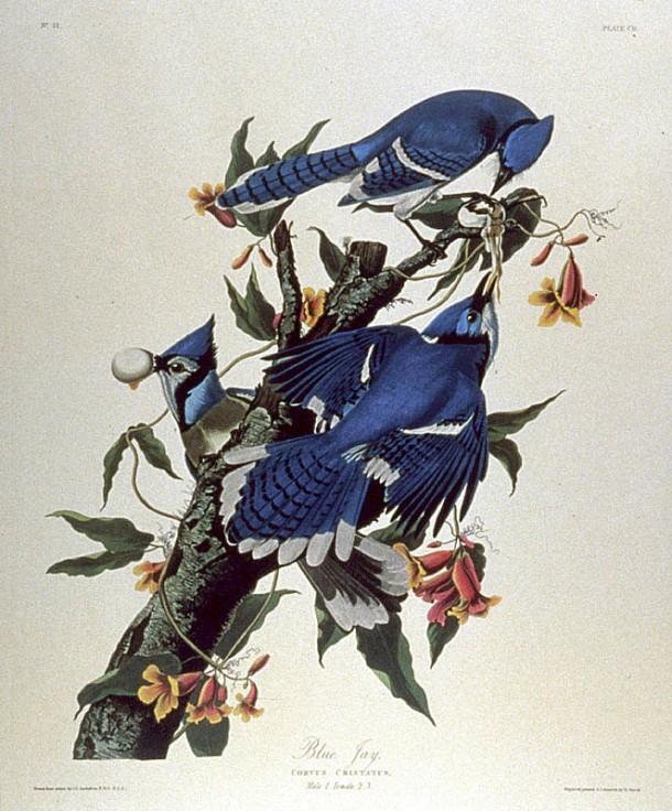 After Audubon, Print by Robert Havell Blue Jay (Plate CII) Corvus cristatus engraving with etching, aquatint and hand-coloring, circa 1830, on J Whatman, framed P. 25 3/8 x 20¼ in. (645 x 514 mm.)