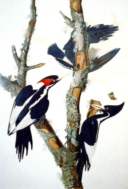 Ivory-billed Woodpecker. Color engraving by R. Havell, after drawing by John J. Audubon. Prints and Photographs Division, Library of Congress