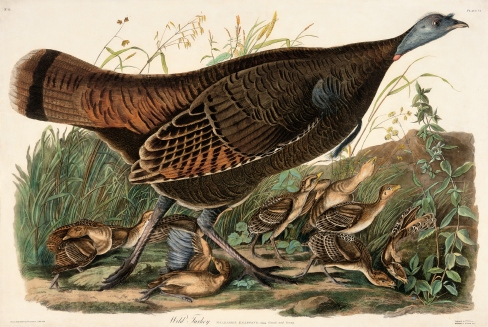"""Wild Turkey, female with young, #288 Stone Lithograph with original hand-coloring Approx. 7"""" x 10"""""""